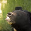 Black bear eating a marshmallow off a stick.